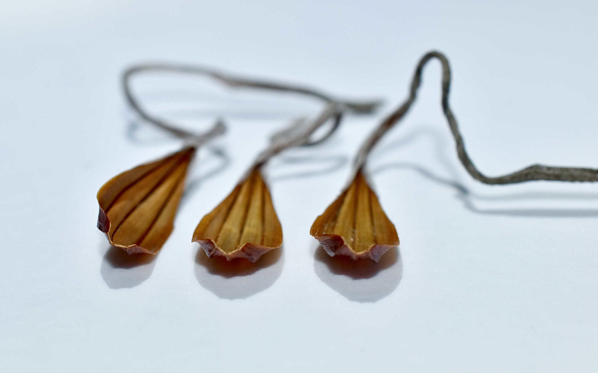 Protea Seed Husks